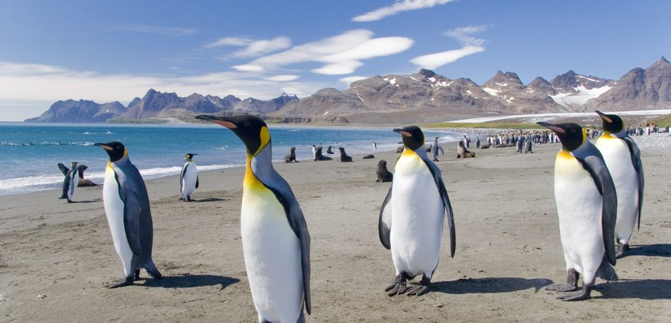 King penguins on a beach